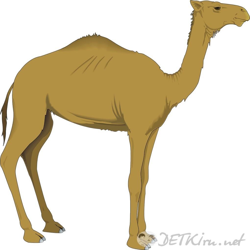 верблюд картинки для детей 3