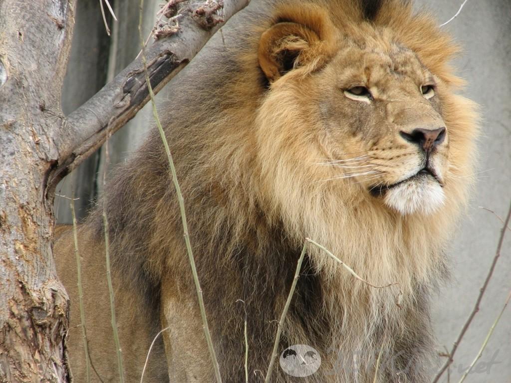 загадки с подвохом для детей - лев (фото)