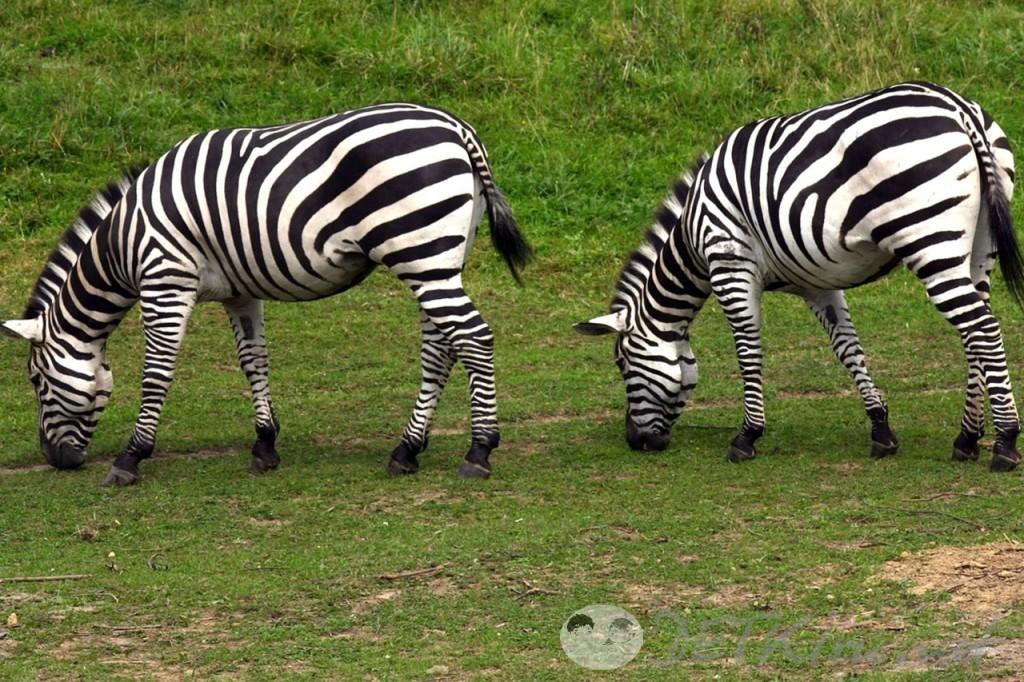 загадки с подвохом для детей - зебра (фото)