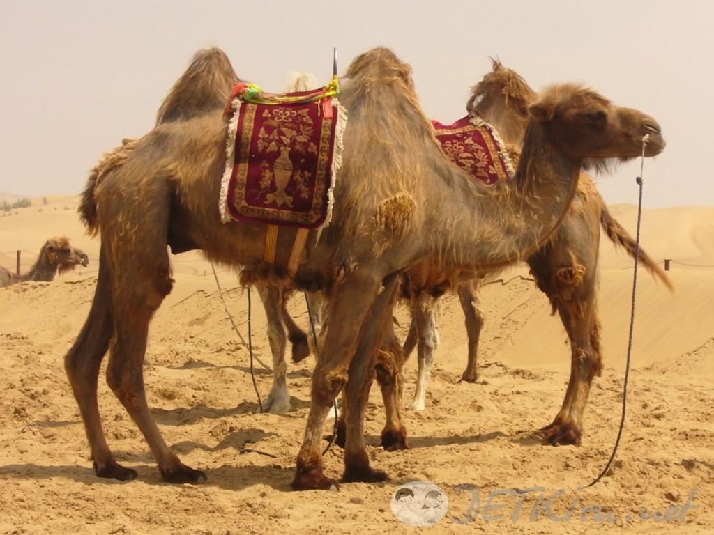 короткие стихи для самых маленьких - верблюд фото