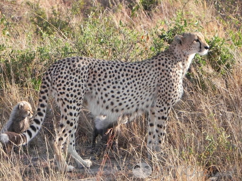 короткие стихи для самых маленьких - гепард (фото)